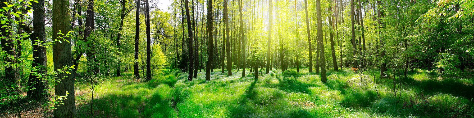 sunshine through woodland trees