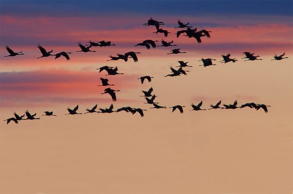 elegant birds migrate against beautiful sunset
